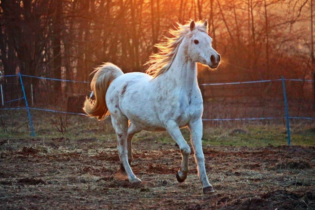 Unknown Facts About Arabian Horse