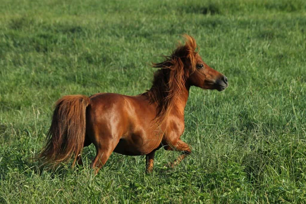 Miniature Horse- A Fancy Animal